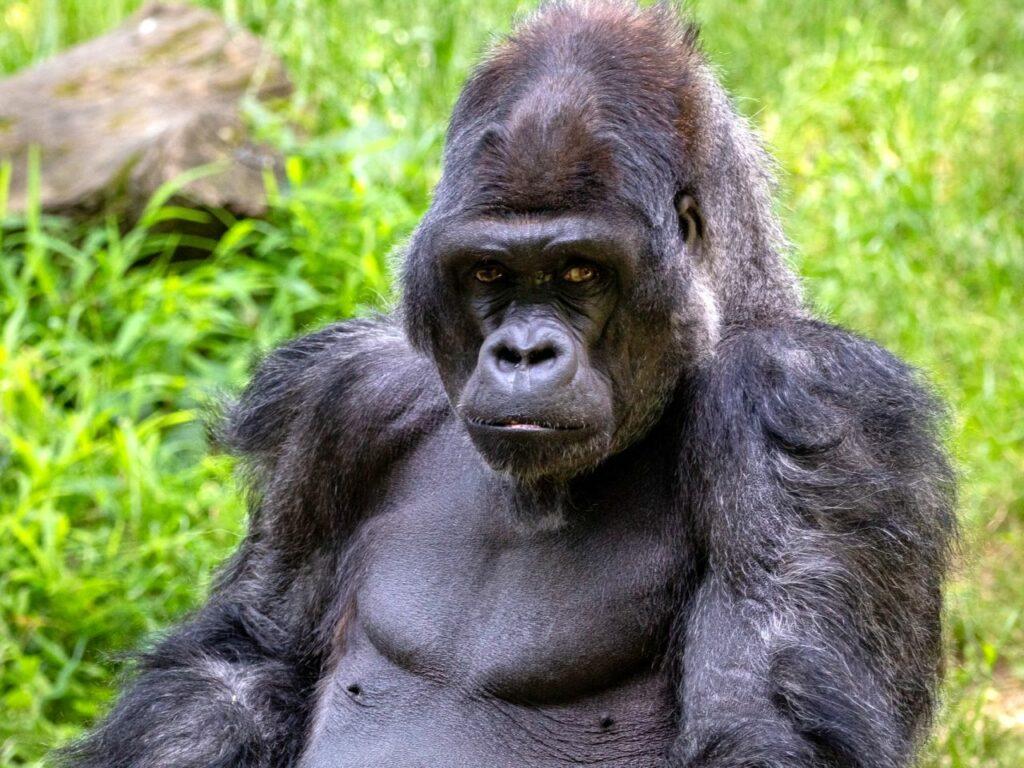 potovanje po ugandi - gorila