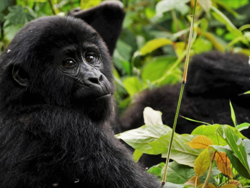 potovanje po ugandi - narodni park bwindi - gorile