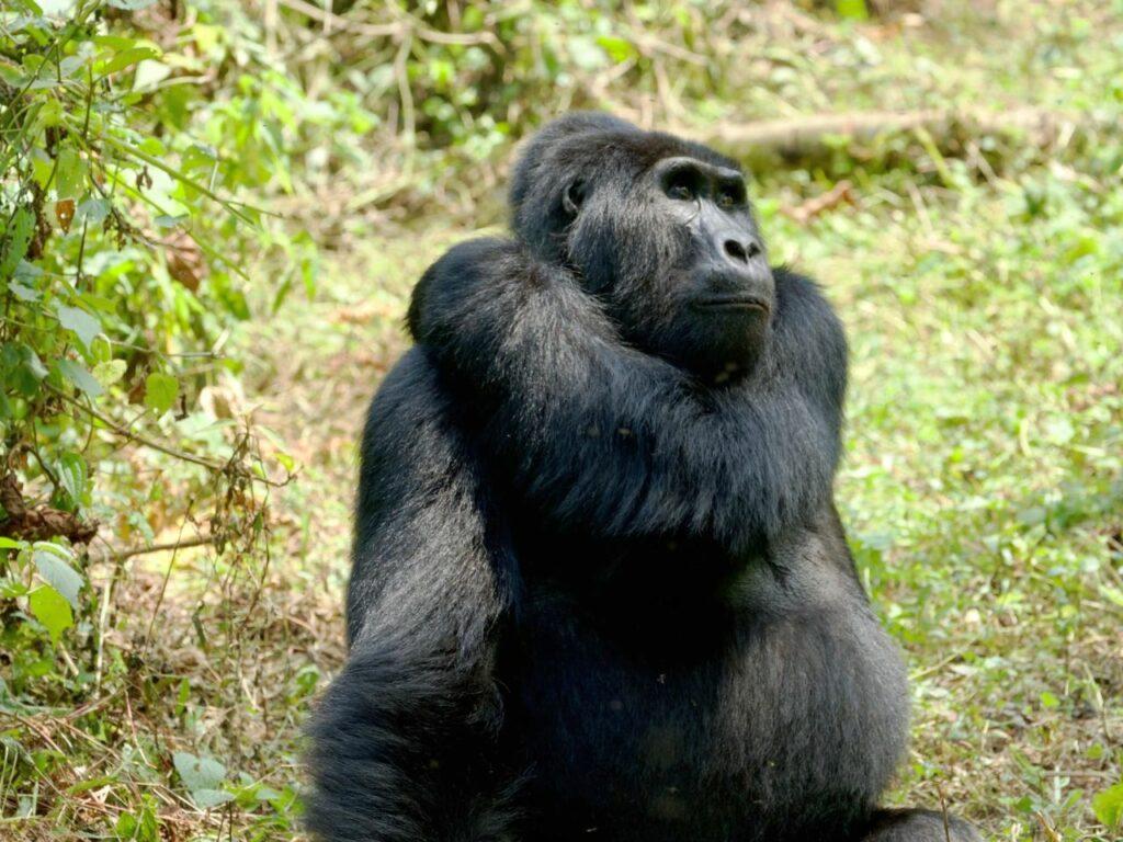 bwindi - uganda - gorile