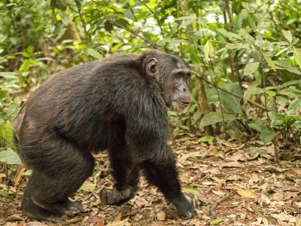 uganda - šimpanzi