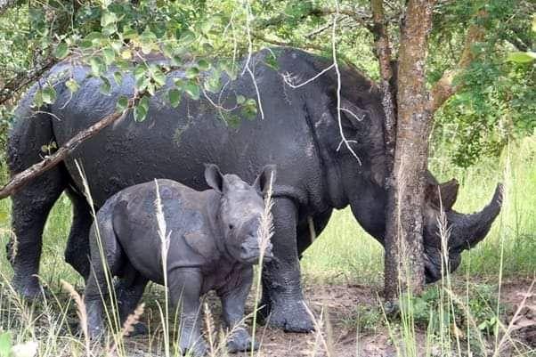 zavetišče za nosoroge - uganda