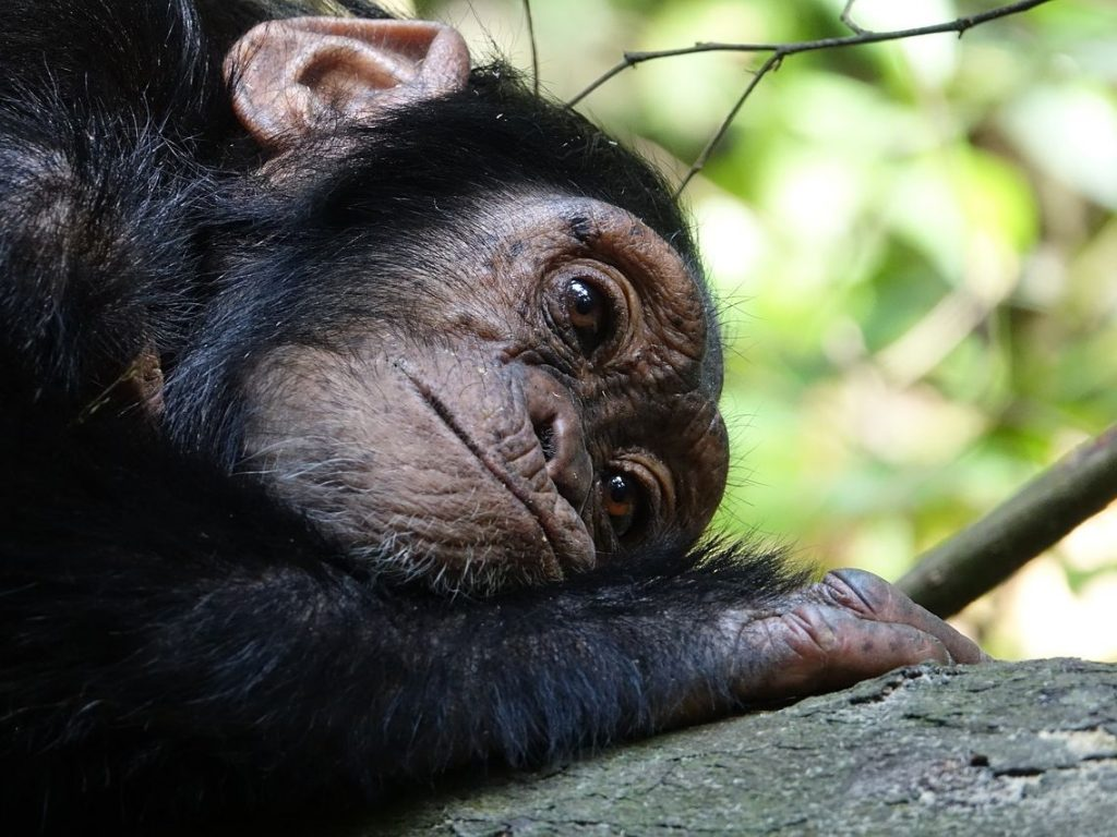 šimpanzek počiva